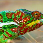 panther_chameleon_MM_B