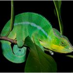panther_chameleon_MM_C-(2)